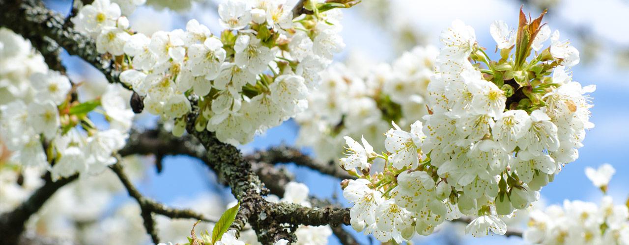 Die Kirschblüte in der Fränkischen Schweiz ist ein Anziehungspunkt für Jeden ..